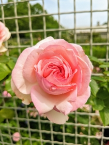 A rose is a woody perennial flowering plant of the genus Rosa, in the family Rosaceae. There are more than a hundred species and thousands of cultivars.