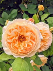 I love this beautiful apricot-colored climbing rose. Some of the newer roses added to the garden include a selection from David Austin – 'Abraham Darby', Graham Thomas', 'Heritage', 'Lady of Shallot', 'Golden Celebration', 'Snow Goose', 'St. Swithun', 'Benjamin Britten', 'Brother Cadfael', 'James Galway', 'Teasing Georgia', 'The Generous Gardener', 'Wolverton Old Hall', 'Malvern Hills', and 'Jude the Obscure'.