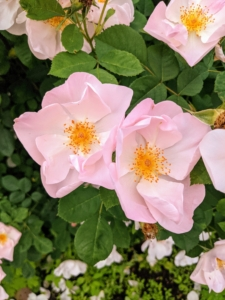 The flowers of most rose species have at least five petals. Each petal is divided into two distinct lobes and is usually white or pink.