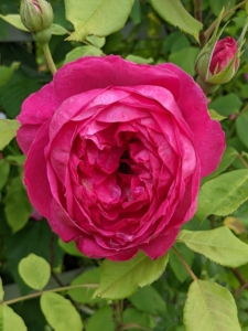 When watering roses, give them the equivalent to one-inch of rainfall per week during the growing season. Water at the soil level to avoid getting the foliage wet. Wet leaves encourage diseases such as black spot and powdery mildew.
