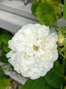 This rose is a lovely white variety. It has full-petalled, rosette-shaped flowers with a button eye and a strong fragrance.