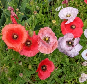 """The name """"poppy"""" refers to a large number of species in at least 12 different genera in the subfamily Papaveroideae, which is within the plant family Papaveraceae. They produce open single flowers gracefully located on long thin stems, sometimes fluffy with many petals and sometimes smooth."""