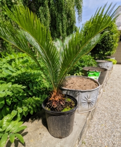 The sago palm, Cycas revoluta, is a popular houseplant known for its feathery foliage and ease of care. Native to the southern islands of Japan, the sago palm goes by several common names, including Japanese palm, funeral palm, king sago or just plain sago palm. I had four sago palms that are all equal in height - they'll look perfect in these planters.