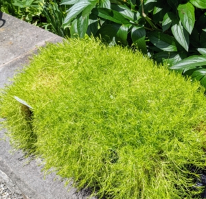 Scotch moss is a low growing soft herbaceous perennial ground-cover that requires little maintenance. It's great for underplanting, filling in between pavers, in rock gardens, or along a path. Botanically known as Sagina subulata, this plant is a native of western and central Europe and is hardy in zones 4 through 8.