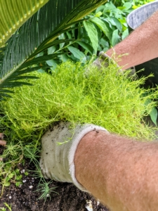 Then he plants them gently into the soil - each clump spaced about four inches apart. It will start to spread and fill in the gaps within a few weeks.