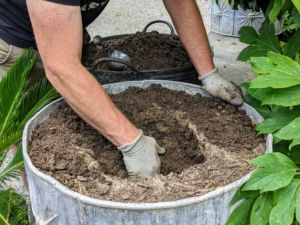 """Here, Ryan digs a hole in the middle of the pot. Cycads like """"deep pots,"""" so take depth over diameter when selecting a container size for a sago palm."""