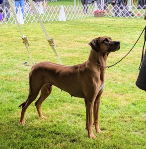 """This is a Rhodesian Ridgeback. The Rhodesian Ridgeback is a large-sized dog breed bred in the Southern Africa region. The Rhodesian Ridgeback is an all-purpose """"Renaissance hound"""" whose distinctive mark is the ridge, or stripe of backward-growing hair, on its back. Though the breed was made famous in its native Africa for its skill at tracking and baying – but never, ever killing – lions, today Ridgebacks are cherished family dogs whose owners must be prepared to deal with their independence and strong prey drive."""