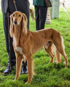 Among the world's oldest breeds is the slim but rugged Saluki - the hunting hound of kings for thousands of years. Salukis are swift and agile sprinters who love a good chase, but they're also gentle, dignified, and loyal pets.