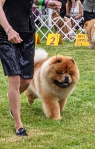 Here is Buddakan – my late G.K.'s son. He is a gorgeous specimen of the breed, and currently one of the top Chows in the country.
