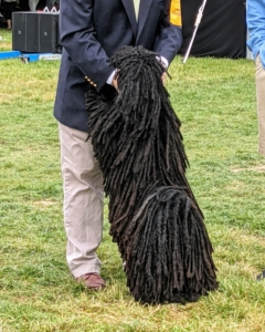 Which end is up? This breed is called a Puli, a small-medium breed of Hungarian herding and livestock guarding dog known for its long, corded coat. The tight curls appear similar to dreadlocks and can weigh several pounds.