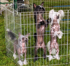 Like most hairless dog breeds, the Chinese Crested Dog comes in two varieties, with and without hair, which can be born in the same litter. This trio is already very excited to get out and show.