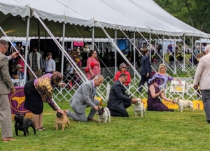 In the ring, the dogs are asked to line up in a stack, so the judge can easily walk by each one and assess its appearance. I am sure you recognize this breed - the French Bulldogs.