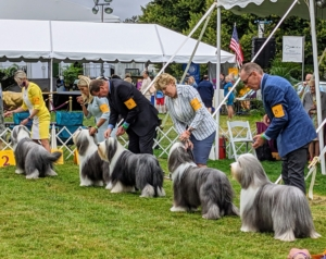 The dogs do not compete against each other, but against the standard of the breed – the dog's ideal description for appearance, movement, and temperament described by the breed's parent club. These Bearded Collies may all look the same, but to the judge's discerning eye, each one is very different.