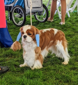 Here is a Cavalier King Charles Spaniel in the red and white colored variety called Blenheim. Its ears are lightly wrapped to keep them well-groomed before entering the ring.