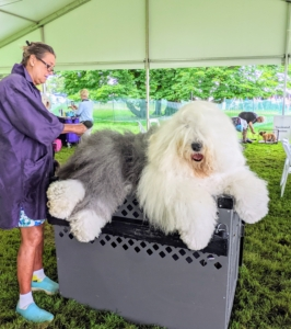 This is an Old English Sheepdog – a large breed of dog famous for its profuse coat and peak-a-boo hairdo. All the dogs are groomed before their scheduled class is called to show - some require more grooming than others.
