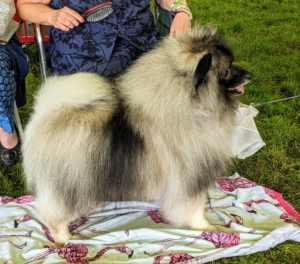 I am quite fond of the Keeshond – I once had one of my own. This is a medium-sized sturdy breed that is smart and eager to learn.