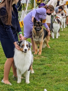 Juniors are also invited to enter if they have been awarded Best Junior Handler at a number of member shows the previous year and who are at least nine years old and under 18. These talented handlers come from across the country to be judged on their dog handling skills.