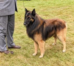 The elegant, agile Belgian Tervuren is a bright and self-assured herding dog of medium size. The Belgian Tervuren is characterized by a straight and abundant coat, an elegant but muscular frame, and an alert and intelligent demeanor.