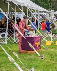 Small dogs are placed on a table where the handler can easily set them up for closer inspection by the breed judge.