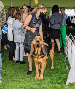 Here is another junior with her lovable Bloodhound. The Bloodhound is a large scent hound, originally bred for hunting deer, wild boar and, since the Middle Ages, for tracking missing persons. Believed to be descended from hounds once kept at the Abbey of Saint-Hubert, Belgium, it is known to French speakers as le chien de Saint-Hubert.