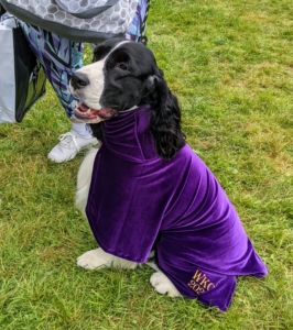 Slightly bigger than the Cocker Spaniel is the English Springer Spaniel. The English Springer Spaniel is a sweet-faced, lovable bird dog of great energy, stamina, and intelligence. This Springer is waiting for his time in the ring wearing his purple robe made by Dog Robes.