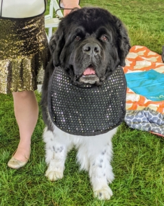 Heavy drooling breeds wear bibs to keep their coats pristine before going into the ring. This is a Landseer Newfoundland. The Landseer has a white base coat with black markings. Typically, the head is solid black, or black with white on the muzzle, with or without a blaze.