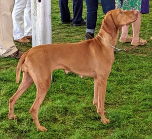 """The Vizsla is a Hungarian hunting dog. Its name means """"searcher"""" or """"tracker"""" and is easily recognized by its sleek golden-rust coat. These rugged but elegant athletes have been the pride of Hungarian sportsmen for centuries, and are growing more popular here in the United States."""