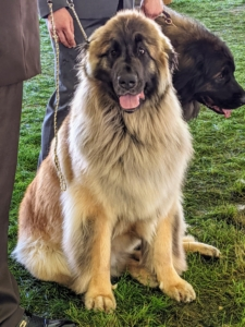The Leonberger is a giant dog breed, whose name derives from the city of Leonberg in Baden-Württemberg, Germany. It has a medium-long waterproof coat, lush triangular ears, a bushy tail, and a black face-mask that frames its dark-brown eyes.