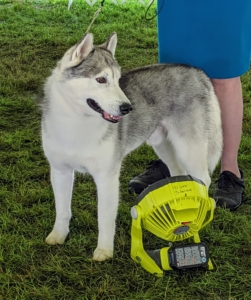 This is a Siberian Husky - staying cool in front of a fan. The Husky is a thickly coated, compact sled dog of medium size and great endurance. It was developed to work in packs, pulling light loads at moderate speeds over vast frozen expanses. This northern breed is friendly, fastidious, and dignified.