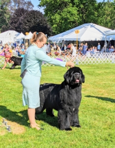 Here is a black Newfoundland. Newfies can also be solid brown. The massive Newfoundland is a powerful working dog of heavy bone, but also sweet-tempered and great with children.