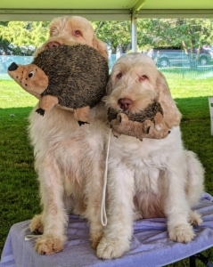 Dogs love their toys - these two held onto their matching hedgehog toys until they were ready to show. The Spinone Italiano, a densely-coated hunting dog, is sociable, docile, and patient, sometimes stubborn but always endearing.