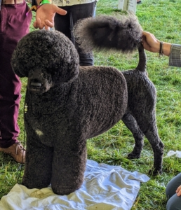 And this is the Portuguese Water Dog - a robust, medium-sized dog covered by a coat of tight, low-shedding curls. These dogs are eager and athletic companions built for water work. The breed can be groomed in two styles: the retriever clip, where the entire coat is clipped to one inch in length, with the tail tip at full length, or this lion clip, where the coat on the hindquarters and muzzle is clipped down to the skin.