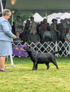 """By late morning, it was time for my friend Ari Katz's dog to head into the ring. This is his Labrador Retriever, CH Gallivant Roundabout, call name """"Kima."""" The judge looks at bone structure and stance, and compares each dog against the parameters of the idealized version of its breed standard. Kima's handler is Julie Romeo."""