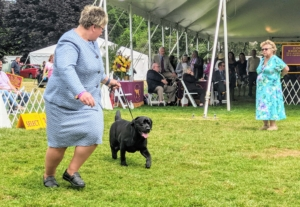 Here is Kima going around the ring. The purpose of breed conformation shows is to evaluate breeding stock. Judges select winners based on their ability to contribute and improve the next generation of dogs. Kima is an excellent example of a true Labrador Retriever.