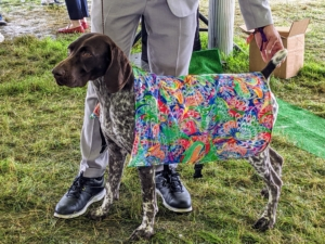 Another sporting dog is the handsome German Shorthaired pointer. The versatile, medium-sized German Shorthaired Pointer is an enthusiastic gun dog of all trades who thrives on vigorous exercise, positive training, and a lot of love. Draped in a cooling robe, this dog is waiting for its turn in the ring.