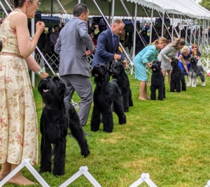 """A well-bred Giant Schnauzer closely resembles the Standard Schnauzer - it's only bigger. The double coat is either solid black or """"pepper and salt"""" with males standing as high as 27.5 inches at the shoulder and weighing about 95 pounds."""