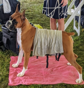The Boxer has been one of the country's most popular breeds for years. These dogs are loyal, affectionate, intelligent, and beautiful. Its temperament is bright and alert, sometimes silly, but always courageous.