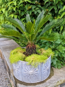 The bright chartreuse-yellow color of Scotch moss provides such a brilliant contrast with the darker green foliage of the sago palm.