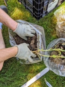 Each bag contains a bit of last year's soil and some vermiculite which can be added to the soil when the tuber is placed in the hole.