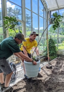 Here, Brian and Ryan move five fig trees into the greenhouse. This fig tree is planted in one of my Martha Stewart Round False Bottom Planters. Find two sizes - 12-inch round and 17-inch round - available through my new web site Martha.com. Be sure to check it out.