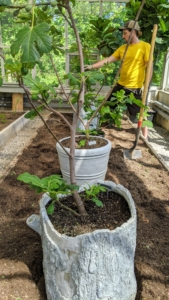 Ryan lines up the five fig trees in the bed and makes sure they are all evenly spaced. Fig trees need full sun to partial shade - a minimum of seven to eight hours of sun exposure is best. They also like soil with good drainage - this greenhouse will be just perfect.