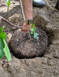 Next, he places the tree into the hole to see if it is the right size. It must be as deep as it was in the original pot - planting a tree too deep can kill it.