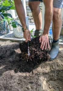 To help the roots get established, Brian scarifies them. Scarifying stimulates root growth. Essentially, he breaks up small portions of the root ball to loosen the roots a bit and create some beneficial injuries. This helps the plant become established more quickly in its new environment.