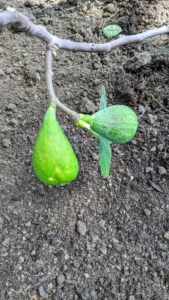 'Brunswick' produces pear-shaped skinned fruits with a sweet flavor and yellow-red flesh. These need more time to ripen.