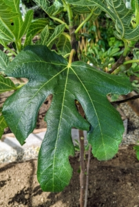 Fig 'Petite Negra' is another amazing fruiting variety with large, dark green leaves.