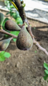 It produces medium-sized plump black juicy figs at a young age. An important tip - never pick figs that are still green; always let them ripen fully on the tree before picking as they do not ripen any more once harvested.