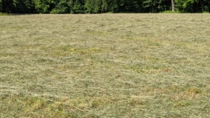 Here is some of the fluffed up hay, which will continue to dry for the next day. On average, it takes about three days per field, depending on the size of the field and the weather, to complete the entire process of mowing, raking, and baling hay.