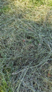 This freshly cut hay will need to dry before it is baled. The hay is ready when hay pulled from the bottom of the windrow makes a crunching sound when snapped.
