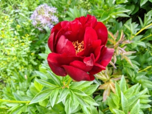 Here is another herbaceous peony in red just beginning to unfurl. Do you know the difference between herbaceous peonies and tree peonies? Herbaceous peonies are perennial peonies that die back to the ground each year. The roots remain dormant under the soil, then the plant stems push up in the spring. Tree peonies are woody, deciduous shrub peonies. They lose their foliage in the fall but their woody stems do not die back to the ground.