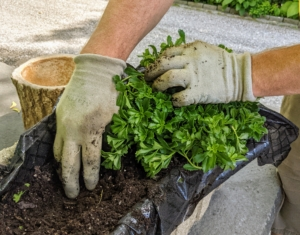 As each specimen is planted, Ryan tamps the soil down to prevent any air holes. Ryan is also using my Non-Slip All Purpose Gloves in slate – available from my collection at Amazon.